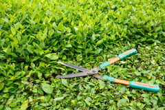 Trimming shrubs scissors Stock Photography