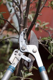Trimming a tree bough. Trimming a tree twig with scissors Stock Photo