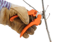 Trimming a Tree Branch with Pruning Shears Royalty Free Stock Photo