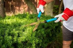 Trimming Yard Hedges Stock Photo