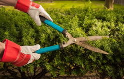 Trimming Yard Hedges Royalty Free Stock Photography