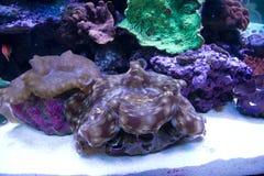 Trinadica squamosa clam in aquarium Royalty Free Stock Image