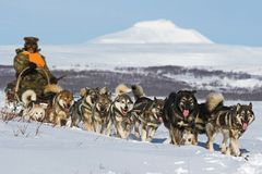 Trineo del perro El Malamute de Alaska es muy un tipo aborigen grande perro, diseñado para trabajar en un equipo, una de las más  imagenes de archivo