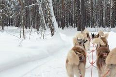 Trineo fornido en paisaje del invierno del bosque Fotografía de archivo libre de regalías