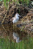 Tringa glareola 一只鸟夏天下午在西伯利亚 库存图片