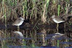 Tringa glareola 在沼泽的银行的鸟在北部的  免版税库存图片