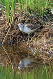 Tringa glareola 鸟在湖水中被反射 免版税库存图片