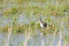 Tringa glareola. Or Wood Sandpiper on a flooded meadow in Estonia Royalty Free Stock Images