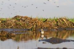 Tringa ochropus Knie-tief im Wasser lizenzfreie stockfotos