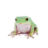 Trinidad Monkey Leaf Frog sur le fond blanc Image libre de droits