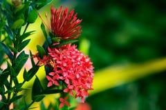 Trinidad och Tobago för blomma för Ixora coccinea tropiskt arbeta i trädgården royaltyfria foton