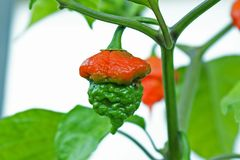 Trinidad scorpio moruga pepper. In growth, close up, half red, half green Royalty Free Stock Images