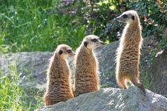Trinity of Meerkats sitting on a rock Stock Photos