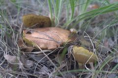 Trinity of old weeping bolete, hiding in the grass and dry leave. Trinity of old weeping bolete with brown pileus, hiding in the grass and dry leaves royalty free stock photo