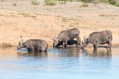 Trinken mit drei afrikanisches Büffeln Lizenzfreie Stockbilder