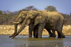 Trinken mit zwei afrikanischen Elefanten Stockfoto