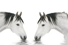 Trinken mit zwei Pferden Lizenzfreie Stockfotografie