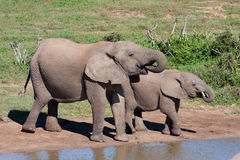 Trinkende afrikanische Elefanten Lizenzfreie Stockfotos