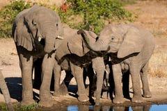 Trinkende Elefanten Lizenzfreie Stockfotografie