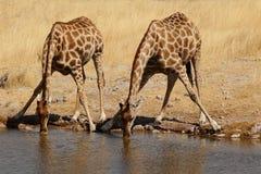 Trinkende Giraffen stockfoto