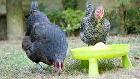 Trinkende Hennen in einem Garten stock video footage