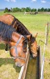 Trinkende Pferde Stockbilder