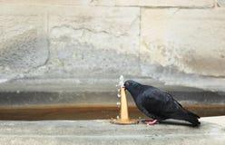 Trinkende Taube Stockfotografie