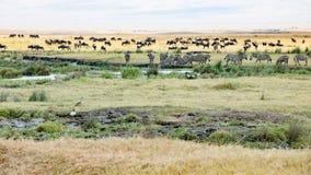 Trinkende Zebras, Gnus, Flusspferde und Vögel in Ngorongoro-Krater weiden lassend stockfotografie