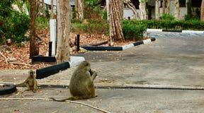 Trinkender Affe im Hotel Stockfotografie