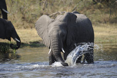 Trinkender Elefant Stockfoto