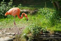 Trinkender Flamingo Lizenzfreie Stockfotografie