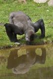 Trinkender Gorilla Stockfotos