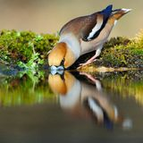 Trinkender Hawfinch Stockbild