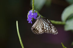 Trinkender Honig des Schmetterlinges von der blauen Blume Stockbilder