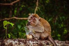 Trinkender Kaffee des kleinen thailändischen Affen auf dem Baum Lizenzfreie Stockfotos