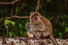 Trinkender Kaffee des kleinen thailändischen Affen auf dem Baum Stockfoto