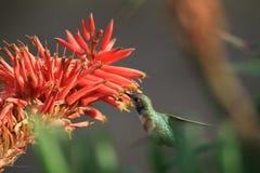 Trinkender Nektar des Kolibris Stockbild