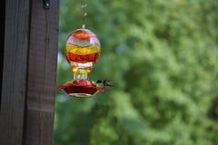 Trinkender Nektar des Kolibris lizenzfreie stockfotos