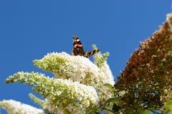 Trinkender Nektar des schönen Monarchfalters vom Schmetterlingsbusch stockfotos