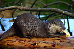 Trinkender Otter lizenzfreies stockbild