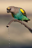 Trinkender Papagei Lizenzfreie Stockfotografie