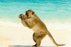 Trinkender Saft des Affen, Thailand Stockfotos