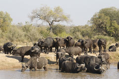 Trinkender Umhang-Büffel, Südafrika Lizenzfreie Stockfotos