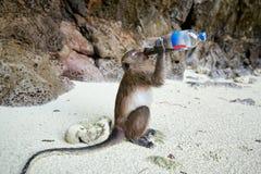 Trinkendes Getränk des Affen im Affe-Strand, Phi Phi Islands, Thailand Stockbilder