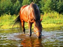 Trinkendes Pferd Lizenzfreie Stockfotos