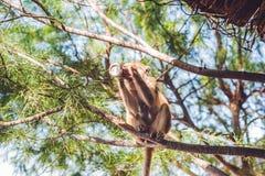 Trinkendes Soda des Affen auf einem Baumast Stockfotos