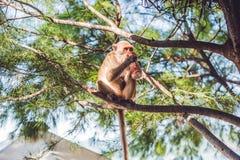 Trinkendes Soda des Affen auf einem Baumast Stockfotografie