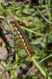 Trinker Caterpillar Stockbild