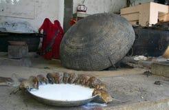 Trinkmilch der heiligen Ratten lizenzfreie stockfotografie