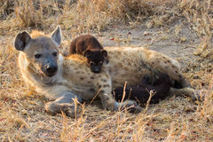 Trinkmilch der hungrigen Hyänenwelpen von der Mutter säugt Stockfoto